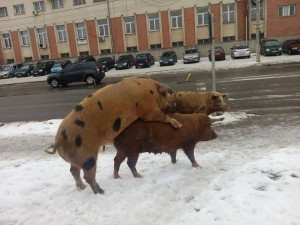 porci alba iulia